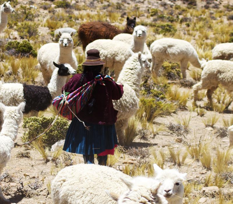 Andean Herder