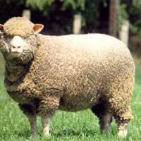 Merino Sheep.JPG